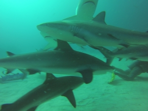 Swimming sharks